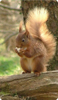 Front Page squirrel 2 | Lowthwaite B&B